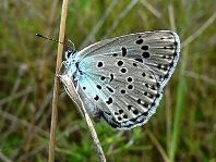Large Blue Butterfly - wikimedia commons cca3 - PJC&co