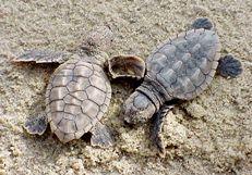 Loggerhead_sea_turtle_hatchlings_caretta_caretta public domain