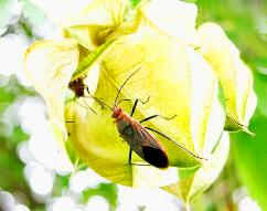 soapberry bug sm