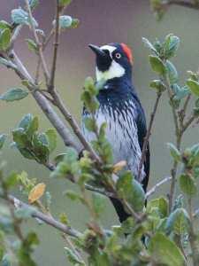 2014-08-27 (1) acorn woodpecker
