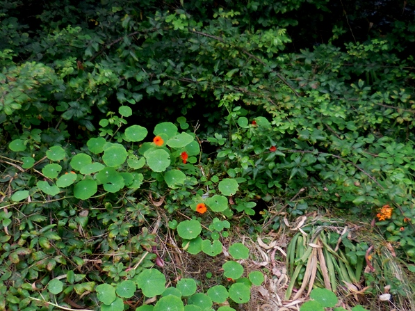 Brilliant nasturtiums in fog-filled Mt Davidson forest