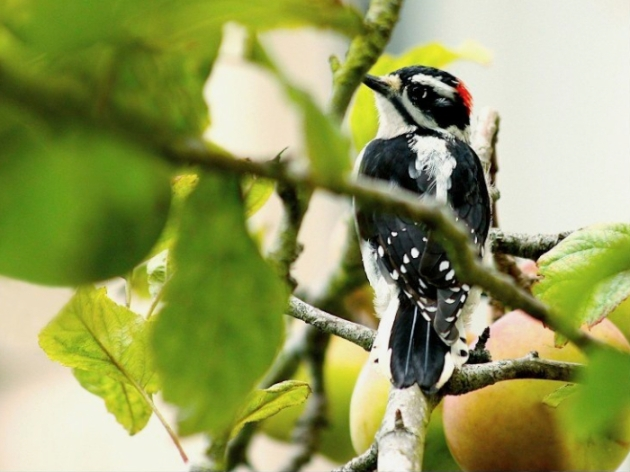 downy woodpecker (c) Janet Kessler