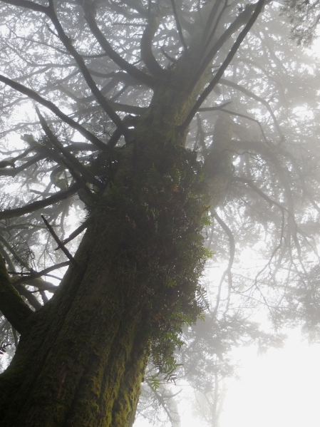 ferns on tree in Mt Davidson Forest