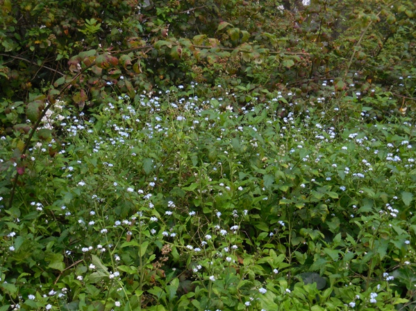 forget-me-nots near Mt Davidson Cross Aug 2014
