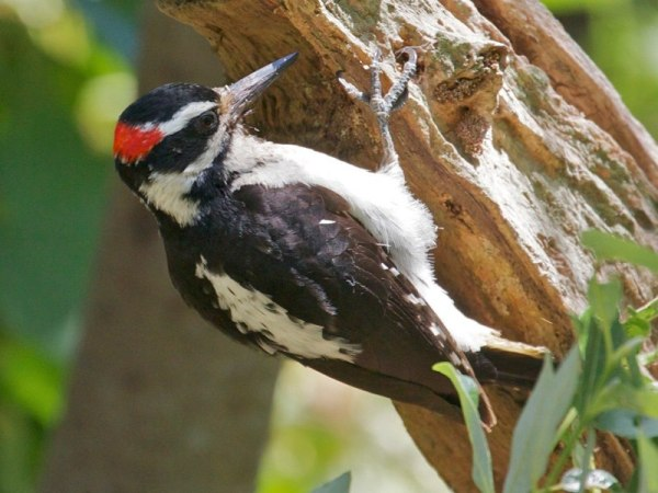 hairy woodpecker (c) janet kessler