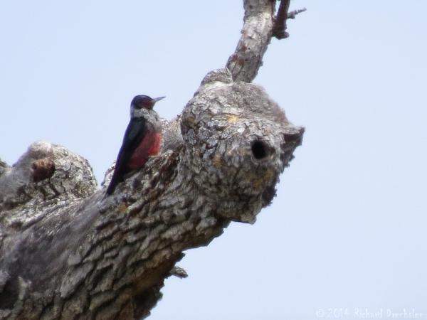 Lewis's Woodpecker (c) Richard Drechsler