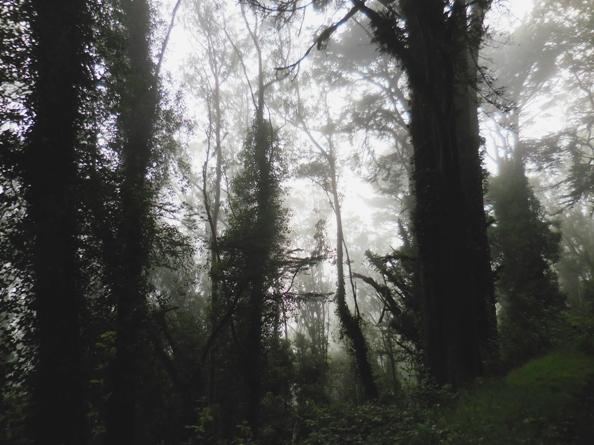Mt Davidson Misty Forest