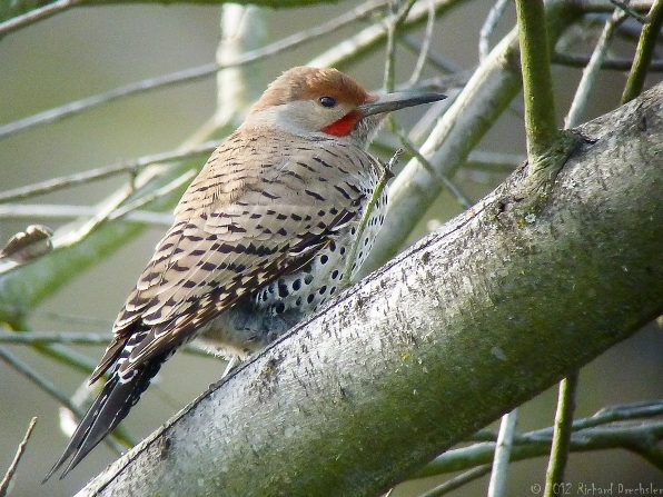 Northern Flicker(c) Richard Drechsler 2012