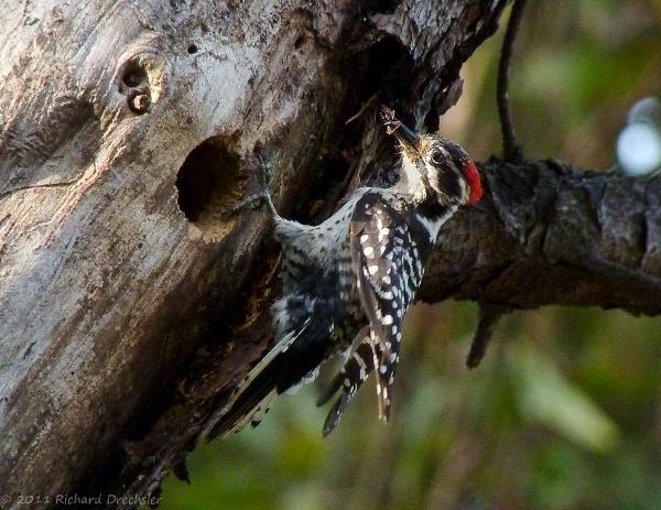nuttall's woodpecker at nest (c) Richard Drechsler 2011