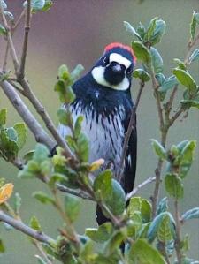 watchful acorn woodpecker (c) Janet Kessler