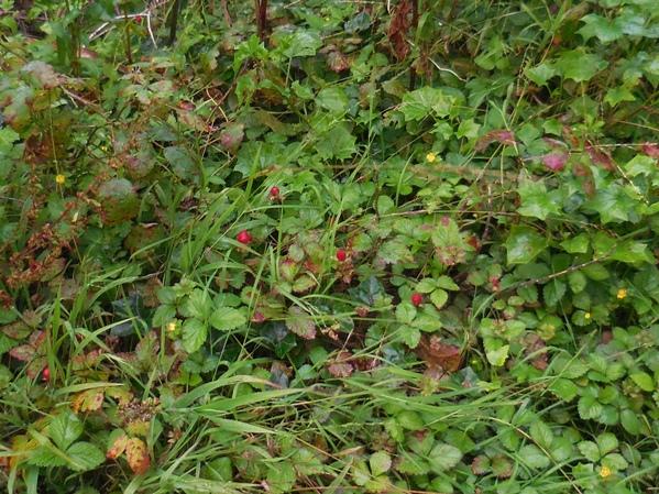 wild strawberries on Mt Davidson