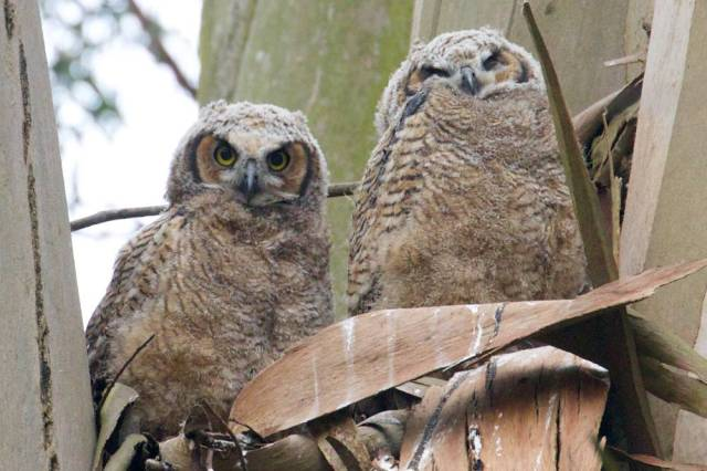 Two baby owls together