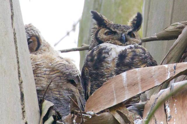 Mama owl standing guard