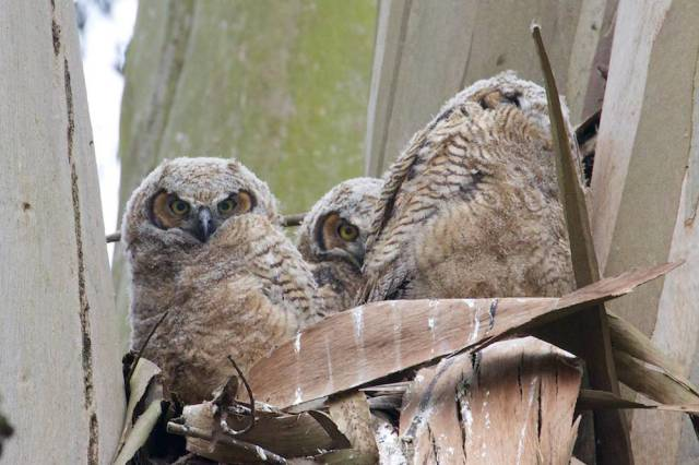 Three baby owls!