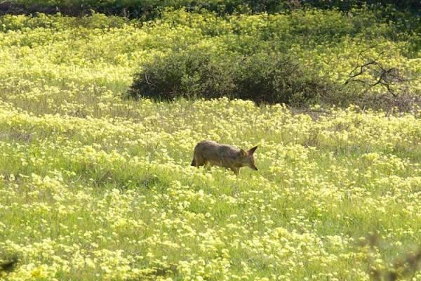 coyote in oxalis field - copyright Janet Kessler