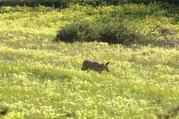 coyote in oxalis field - copyright Janet Kessler