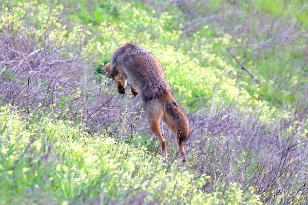 coyote pouncing in oxalis field - copyright Janet Kessler
