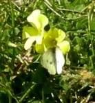 Butterfly on oxalis flower