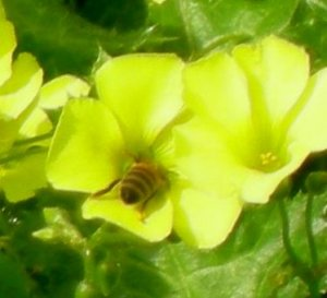 Honeybee in oxalis flower