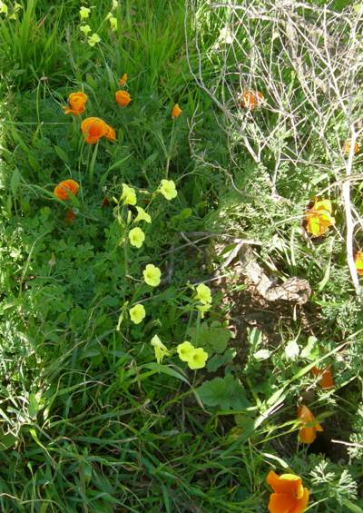 oxalis and california poppies sm