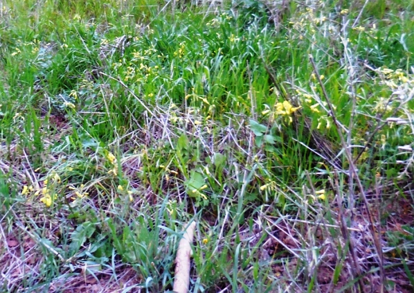 oxalis interspersed with grasses and other plants