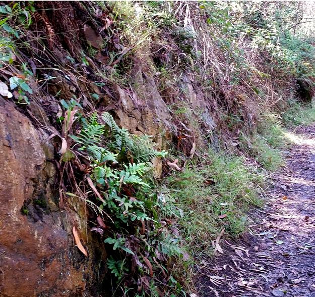 Mt Davidson 10 Ferns on roadside despite the drought