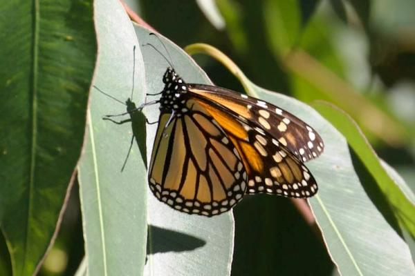 monarch and shadow on eucalyptus copyright Janet Kessler