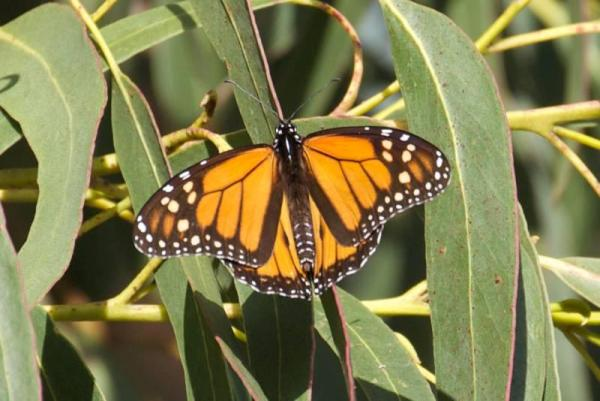 monarch butterfly in a San Francisco eucalyptus tree - copyright Janet Kessler