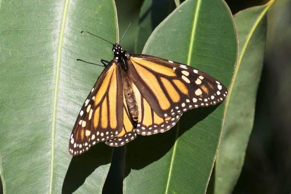 Monarch butterfly on eucalyptus leaf - copyright Janet Kessler