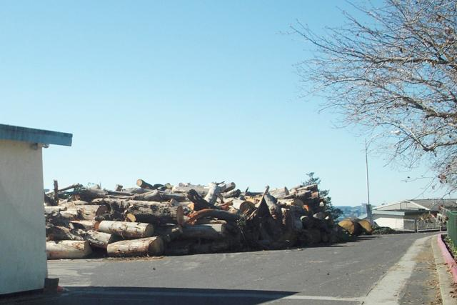 DSCN0008 trees felled and dumped -Treasure Island san francisco 2016