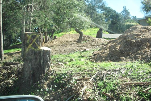 DSCN0020 stumps and piles of mulch are all thats left - treasure island san francisco 2016