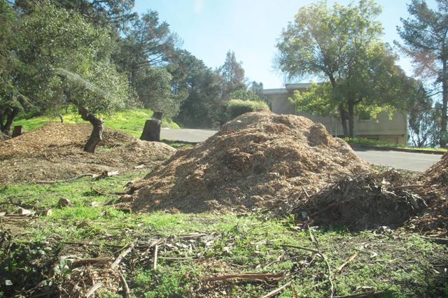 DSCN0021 stumps and piles of mulch are all thats left - treasure island san francisco 2016