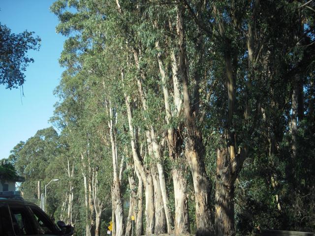 DSCN0052 - the beautiful trees of Treasure Island San Francisco - soon to be gone 2016