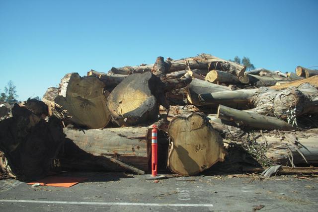 huge old trees cut down on treasure island san francisco 2016