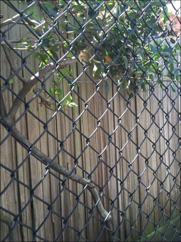 hummingbird sitting in chain link fence