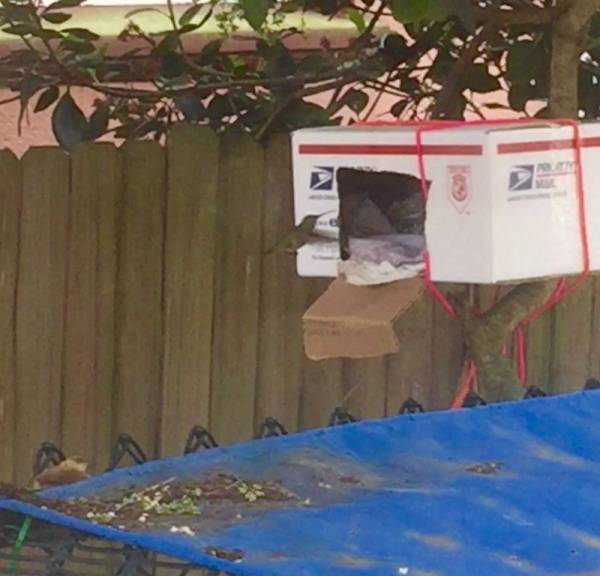Mama hummingbird entering box to feed chicks in rescued nest
