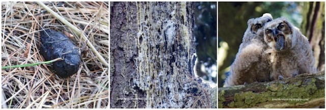 Owl Pellet -- Guano dripping down a tree trunk -- Great Horned Owlet spitting up a pellet