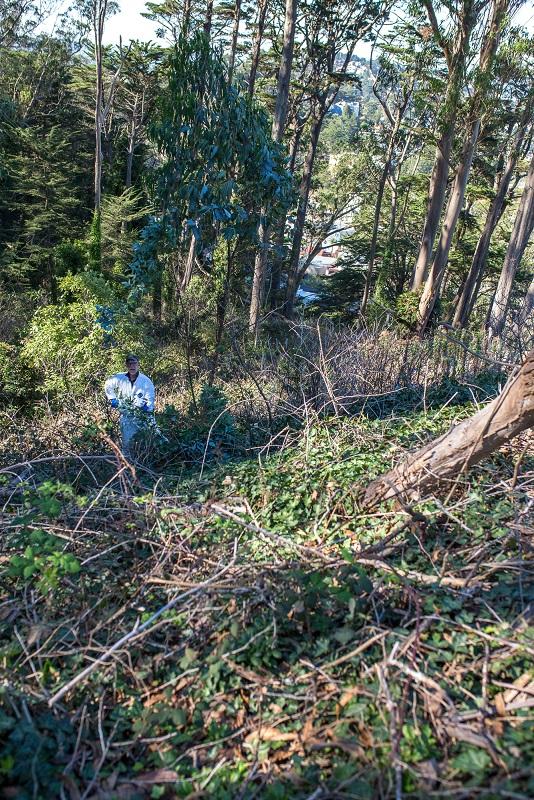 2016-11-02_mtd-cutting-eucalyptus-herbicide