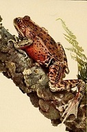 california-red-legged-frog-the-frog-book1906