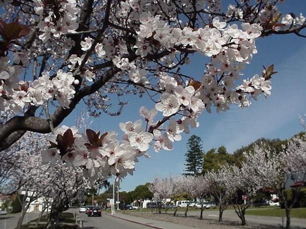 Fort Mason Flowering Plum Trees - Before
