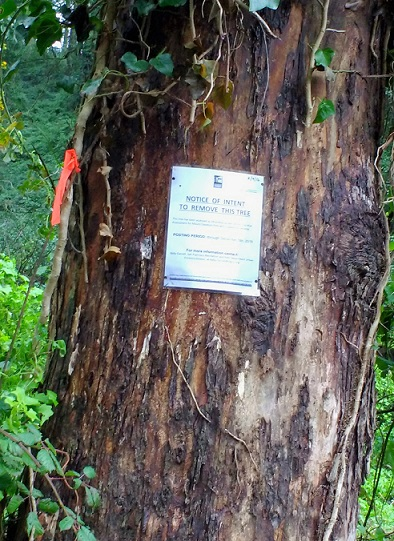 tree-noticed-to-be-removed-mt-davidson-jan-2017