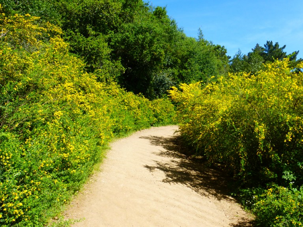 French Broom thriving along a trail - after 10 years of eradication efforts