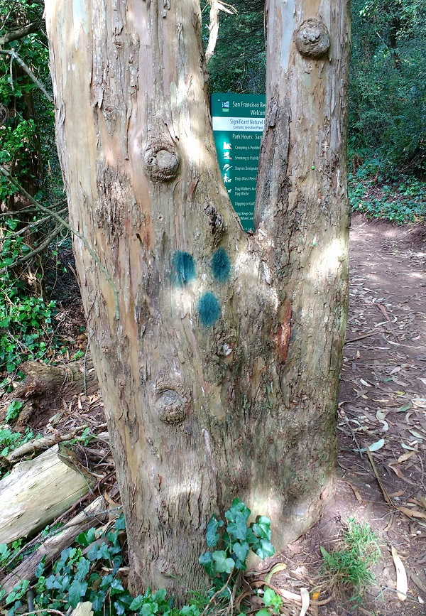 Huge eucalyptus tree on Mt Davidson, San Francisco, marked with 3 green dots