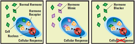 Hormone disruption diagram - Source: NIH