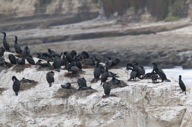Brandt's cormorants (Phalacrocorax penicillatus) nesting on rock arch at Natural Bridges 2021-05-14 © Allison J. Gong