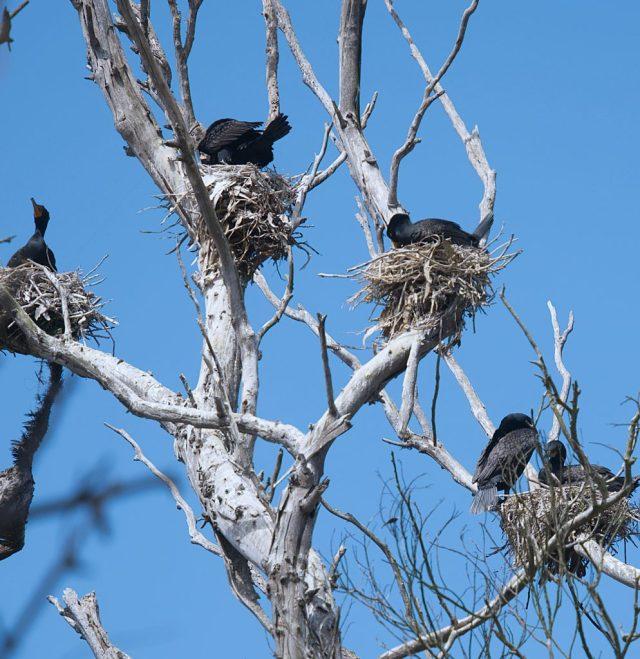 Double-crested cormorants (Phalacrocorax auritus) nesting at San Simeon 2021-05-23 @ Allison J. Gong