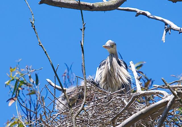 Great blue heron (Ardea herodias) nest at the Heron Rookery Natural Preserve 2021-05-23 © Allison J. Gong