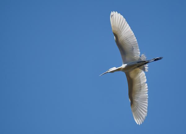 Great egret (Ardea alba) in flight 2021-05-23 © Allison J. Gong