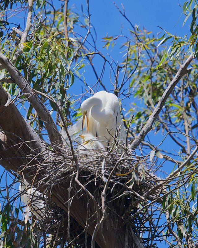 Great egret (Ardea alba) nest at the Heron Rookery Natural Preserve 2021-05-23 © Allison J. Gong