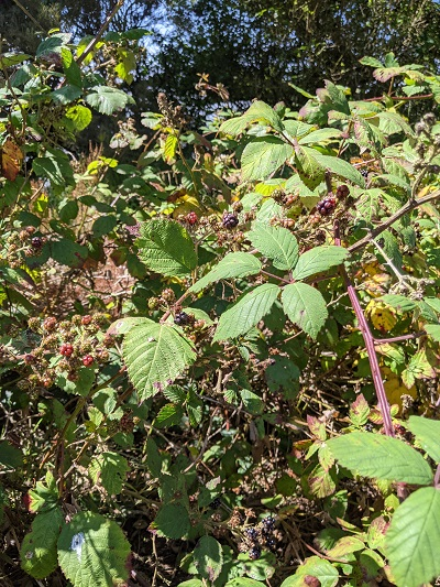 Blackberry bushes with ripe and unripe fruit